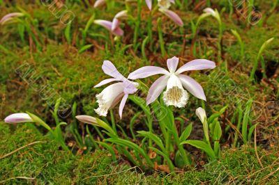 Japan orchid (Pleione formosana)