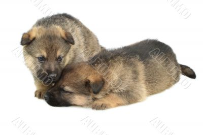 Germany sheep-dogs puppys