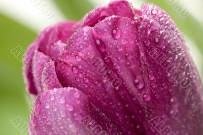 Macro of Purple Tulips with Water Drops