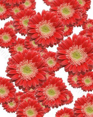 Falling Red Gerber Daisies