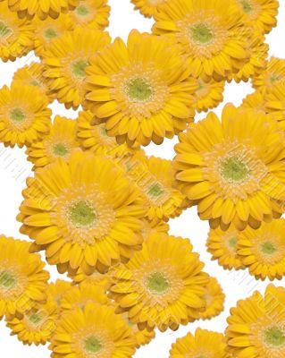 Falling Yellow Gerber Daisies