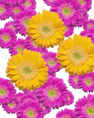Falling Magenta and Yellow Gerber Daisies