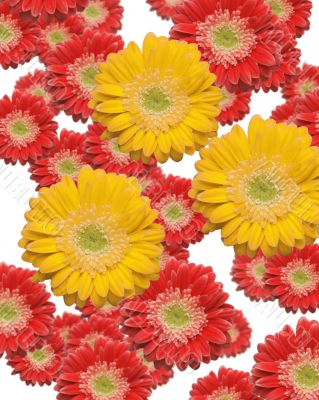 Falling Yellow and Red Gerber Daisies