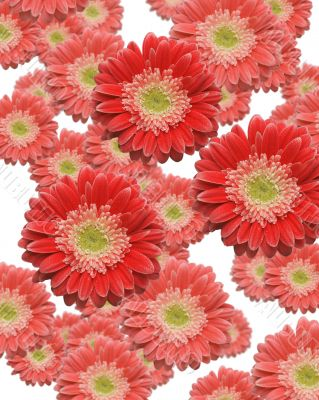 Falling Red and Pink Gerber Daisies