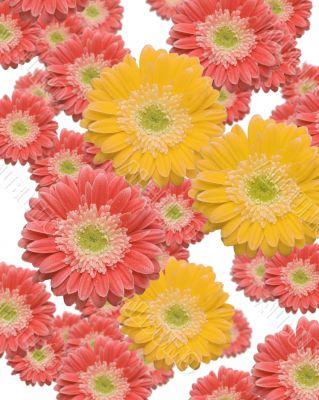Falling Pink and Yellow Gerber Daisies