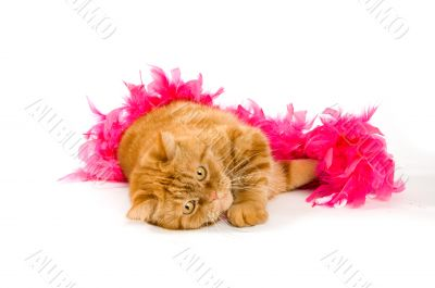 red domestic cat wrapped in a pink boa