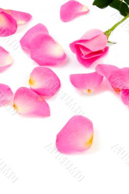 Lots of rose leafs with pink rose isolated on white background
