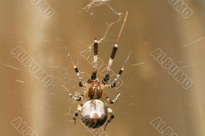 big brown spider