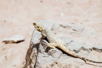 lizard in Jordan desert