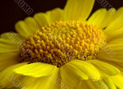 Desert Marigold Closeup (DSC_1281)