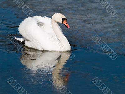 Swan`s Icy Swim