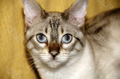A Bengal kitten