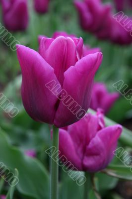 Tulipa (Blue Amabile)