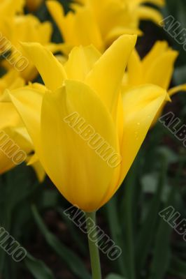 Tulipa (West Point)