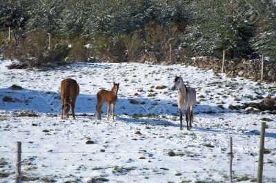 family horses on snow