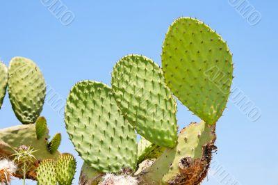 Tzabar cactus or prickly pear