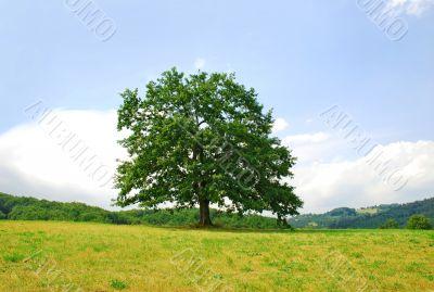 Lonely oak tree on green hill