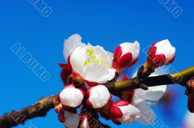 White apricot flowers with blue sky background