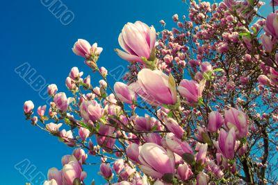 blooming magnolia tree in april