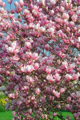 blooming magnolia tree in april
