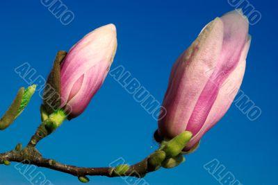 magnolia twig against blue sky