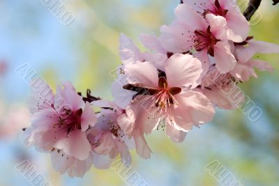 blooming cherry plum tree twig