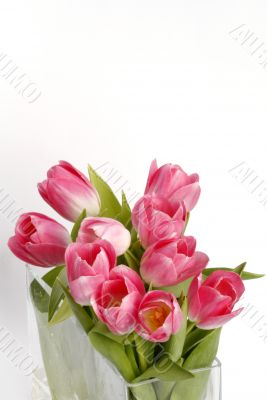 pink tulips with space for your text