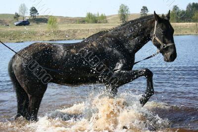 Bathing of a black horse
