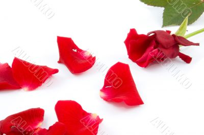 Lots of rose leafs with red rose isolated on white background