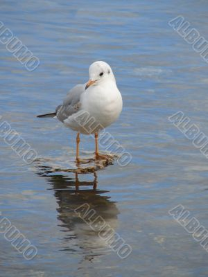 Seagull looking in water mirror