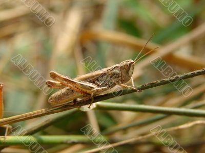 Grasshopper on a straw