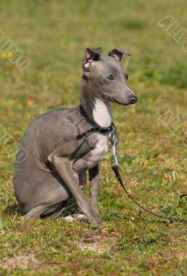puppy purebred italian greyhound