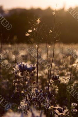prairie paquerette bouton d`or soleil