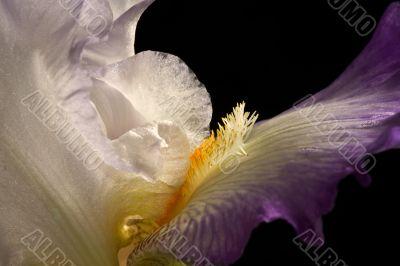 Bearded Iris Closeup - DSC_2018