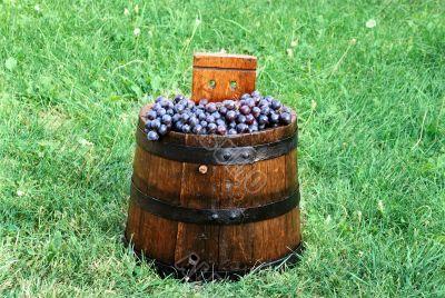 Grapes in wood barrel