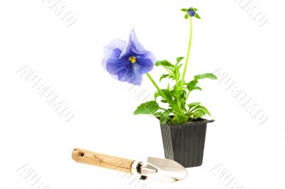 violet pansy`s sprout in plastic box and gardening tool