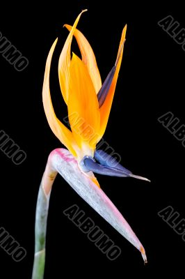 Bird of paradise flower, Strelitzia