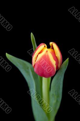 yellw-red tulip on black background