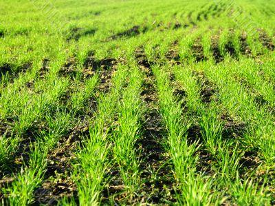grass rows