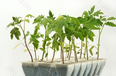 Sprouts of a tomato