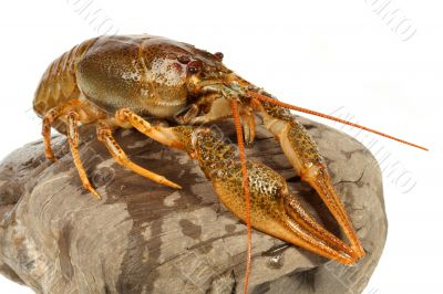 European crayfish