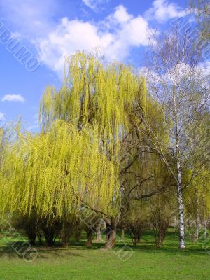Blossoming willow