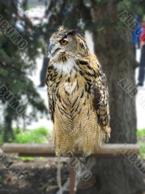 Eagle owl with red eyes
