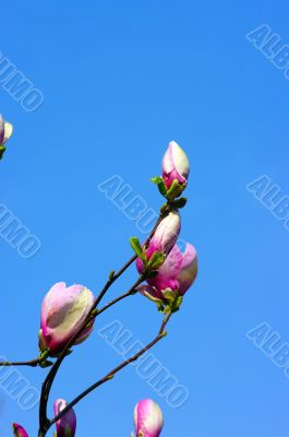 Spring Blossoms of a Magnolia tree on blue sky background.