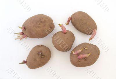 Five organic seed potatoes