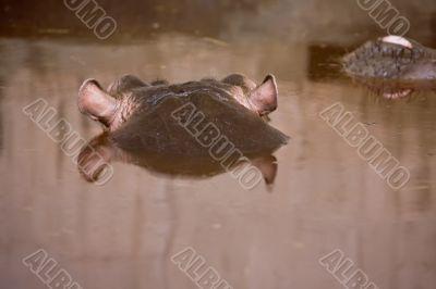 hippopotamus swim on the river