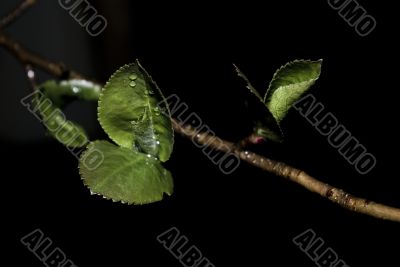 Branch, leaves and drops