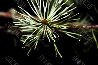 Drops on pine needles