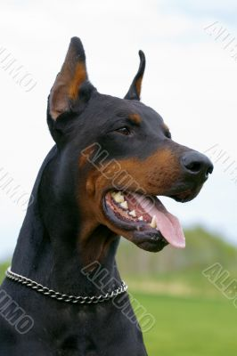 portrait of black dobermann