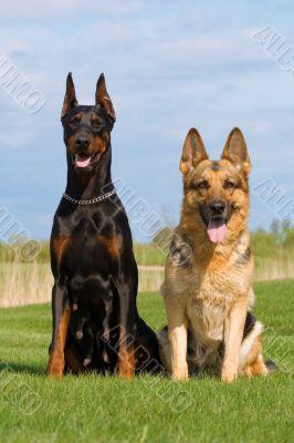 black doberman and german sheep-dog